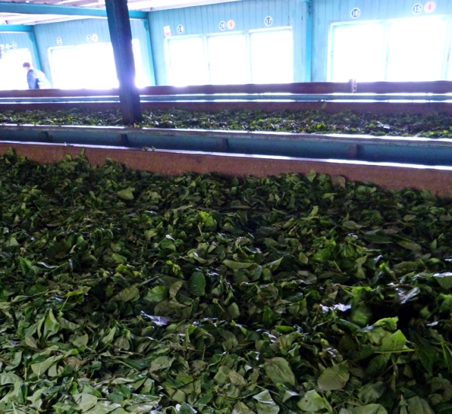 glenloch_tea_drying
