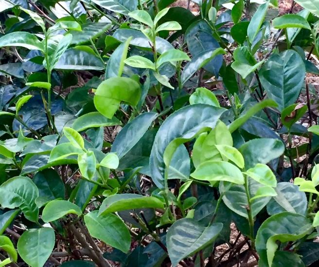glenloch_tea_plant