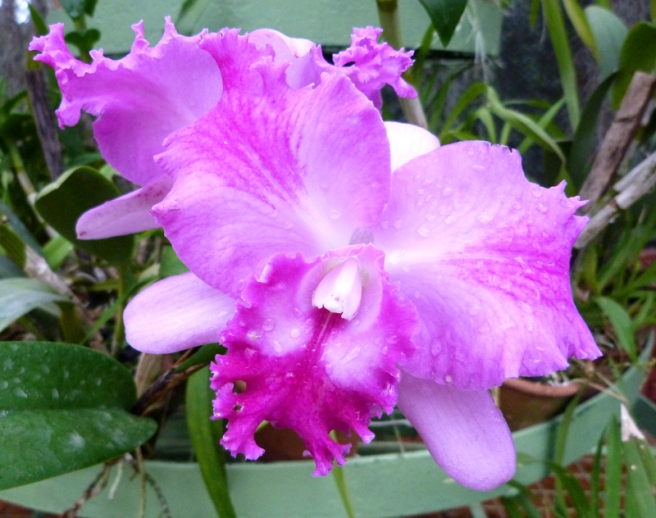 kandy_orchid