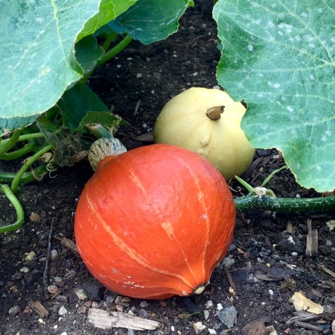 pumpkin_squash_1