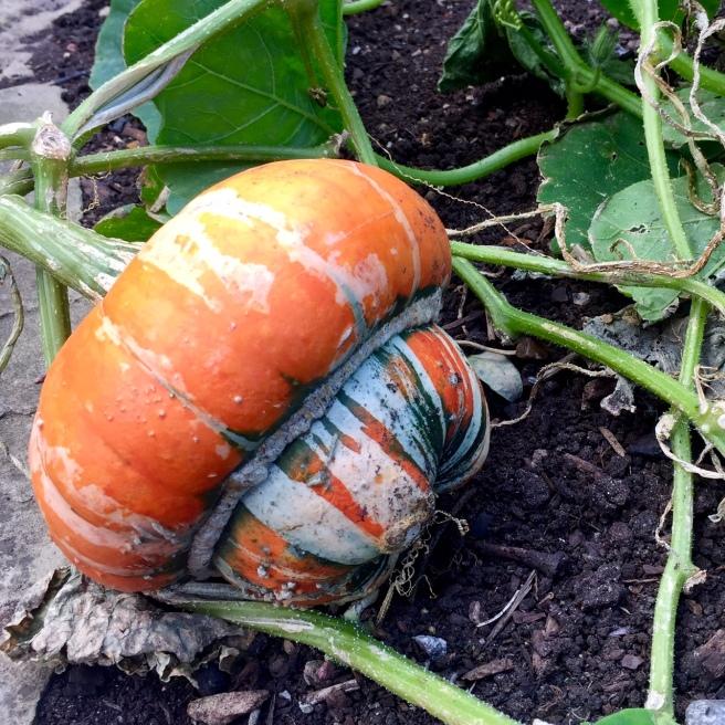 pumpkin_squash_2